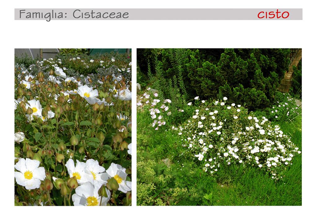 Piante Mediterranee Selvatiche : Come decorare il balcone con le piante mediterranee foto