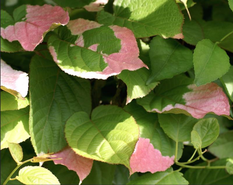 Come scegliere le piante giuste per un pergolato livingcorriere