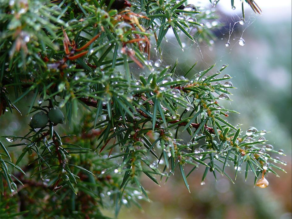 11_juniperus-copia