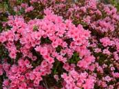 14_azalea-japonica-copia