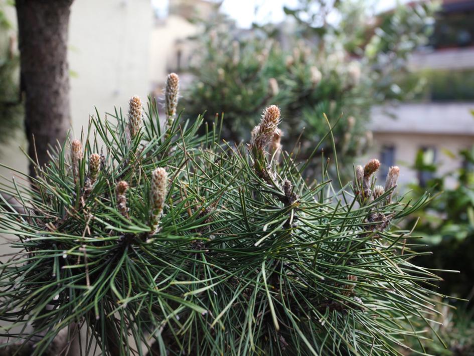 3_pinus-nigra-austriaca-copia