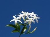 7_ryncospermum-jasminoides-copia