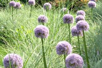 Uno scorcio di un giardino del paesaggista Maurizio Vegini: tra il verde dell'erba risaltano le sfere violacee dei fiori della pianta di aglio: l'immagine è l'apertura del suo sito GPT (Giardini Paesaggi Territorio)