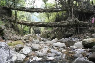Uno dei ponti viventi di Cherrapunjee