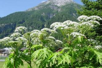 La Panace di Mantegazzi (o Panace Gigante) è una pianta invasiva della famiglia delle Apiaceae