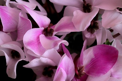 Abbiamo tempo fino a metà febbraio per piantare in vaso i bulbi di narcisi