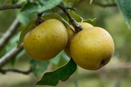 Un melo roggia che sta per sbocciare. Si tratta di una varietà rustica umbrotoscana