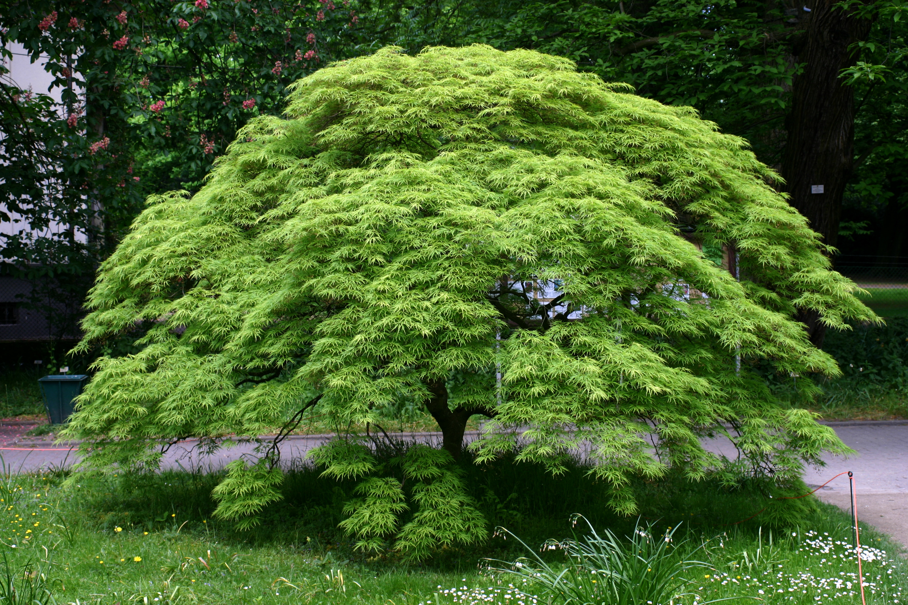 Acero Giapponese Verde giardino con vista - foto 1 livingcorriere