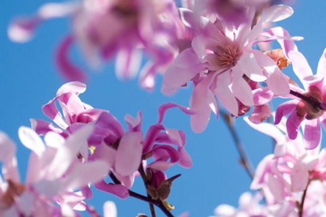 06_magnolia_leonard messel