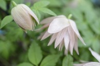4. Clematis 'Country rose'