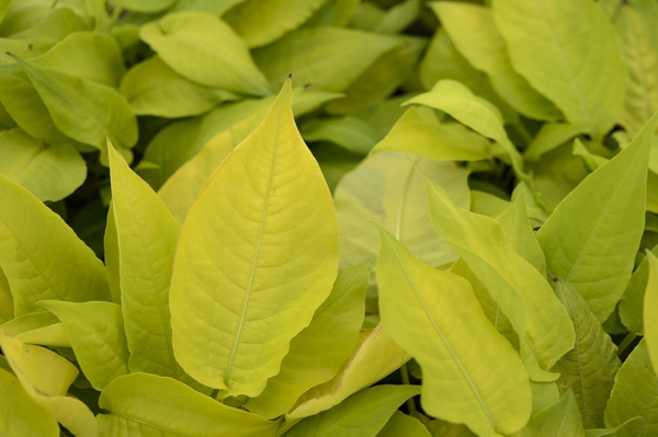 5. Persicaria amplexicaulius 'Golden Arrow'