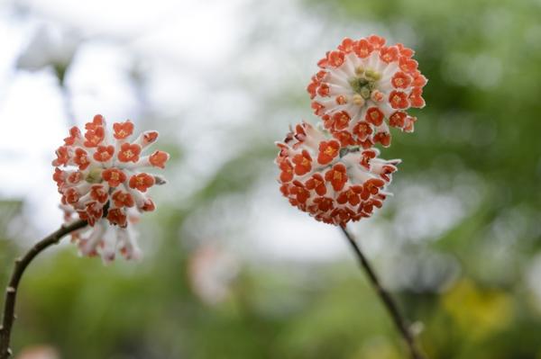 7. Edgeworthia Crysantha 'Red Dragon'