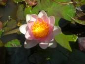 10. ninfea rosa shady lady- nana2