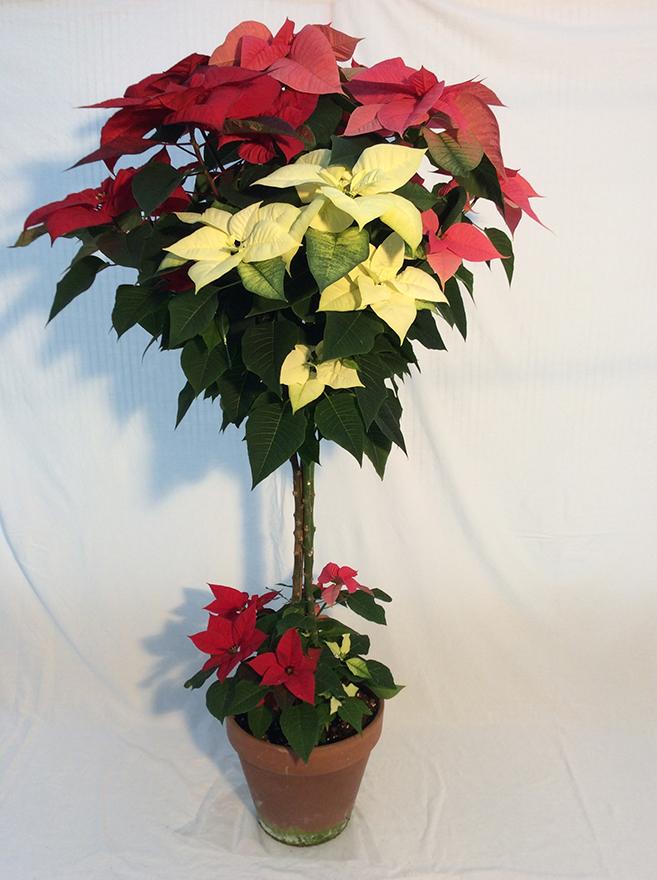 5. Poinsettia coltivata ad alberello