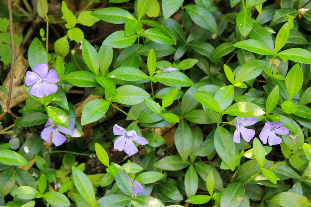 Blue periwinkle (vinca minor)