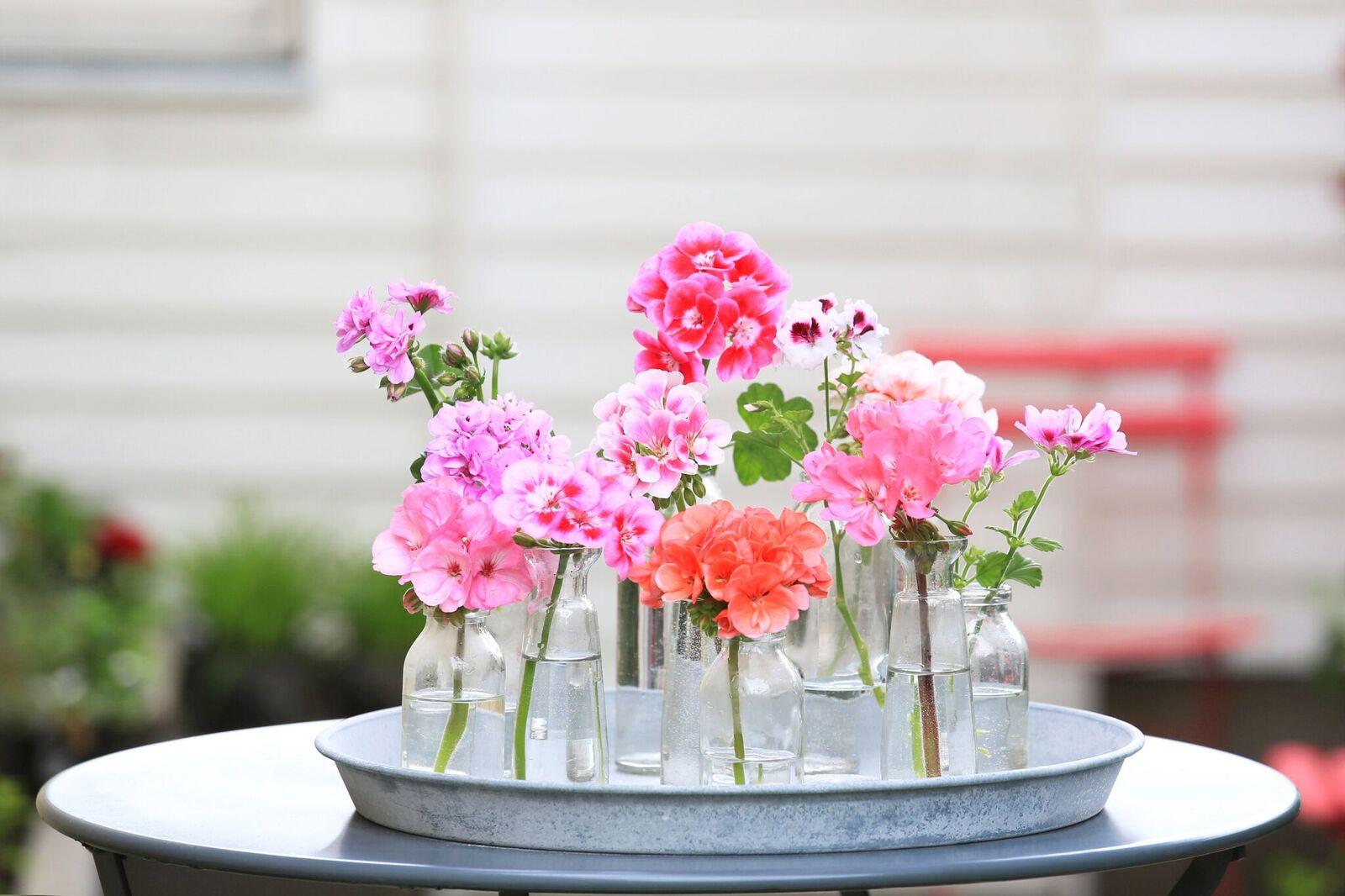 Fiori da balcone meglio gerani o perlagoni living corriere for Fiori gerani