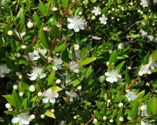 fiori-di-agosto-2-mirto-tarantino-myrtus-communis-tarentina
