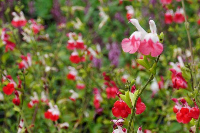 fiori-di-agosto-5-salvia-microphylla-hot-lips