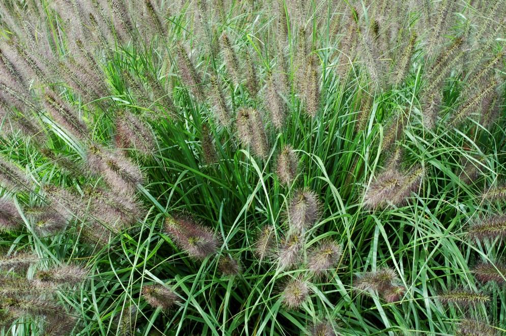 2.-Pennisetum_alopecuroides_(Japanisches_Federborstengras)