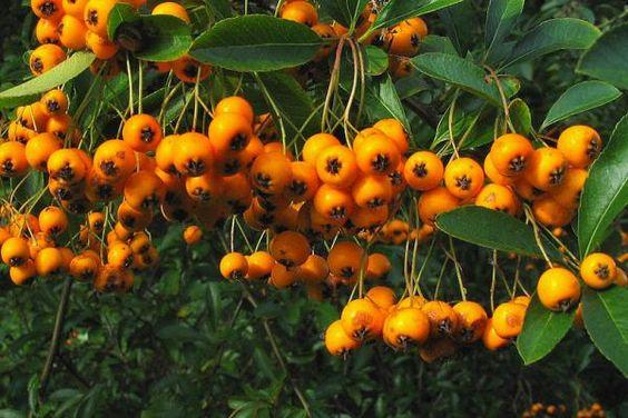 1-pyrachanta-piante-novembre-livingcorriere