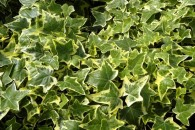 3-Hedera helix-livingcorriere
