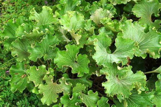 7-farfugium japonicum crispatum-livingcorriere