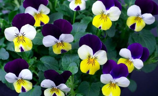 Piante e fiori di febbraio livingcorriere for Piante e fiori
