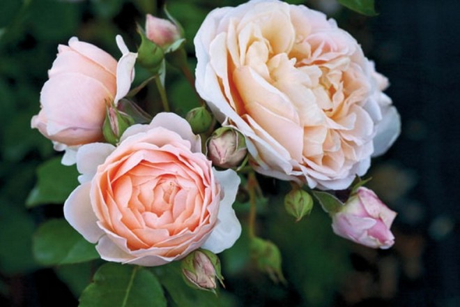 Fiori Ecco Dove Nascono Le Rose Con I Nomi Degli Stilisti 1 Di  Fiori Nomi E Foto