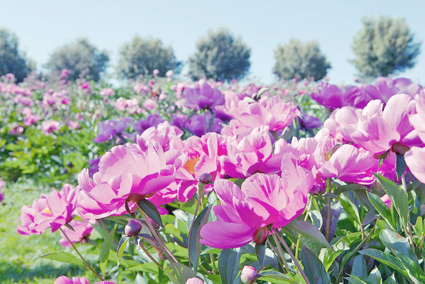 Piante e fiori di maggio le peonie livingcorriere for Piante e fiori