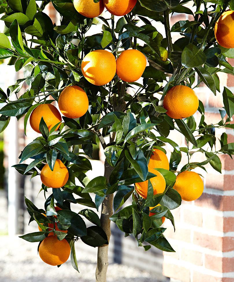 1 .arancio-piante-giugno-living-corriere