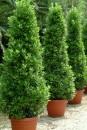 2.laurus nobilis-piante-giugno-living-corriere