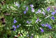 7. ROSMARINO-piante-giugno-living-corriere