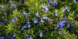 rosmarino Tuscan Blue-piante-giugno-living-corriere