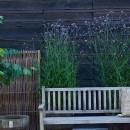 2. verbena bonariensis zetas trädgård
