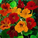 6. New-Fresh-Seeds-TRUE-Genuine-100seeds-Bag-Fresh-Tropaeolum-majus-Nasturtium-Seeds-Easy-Planting-flower-semillas_grande_3a2f2b17-dc98-4aea-9665-1c208358fcb6_x700