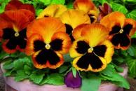 15. Viola PAN Matrix Sunset vrij_b