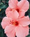 2. ibisco rosa