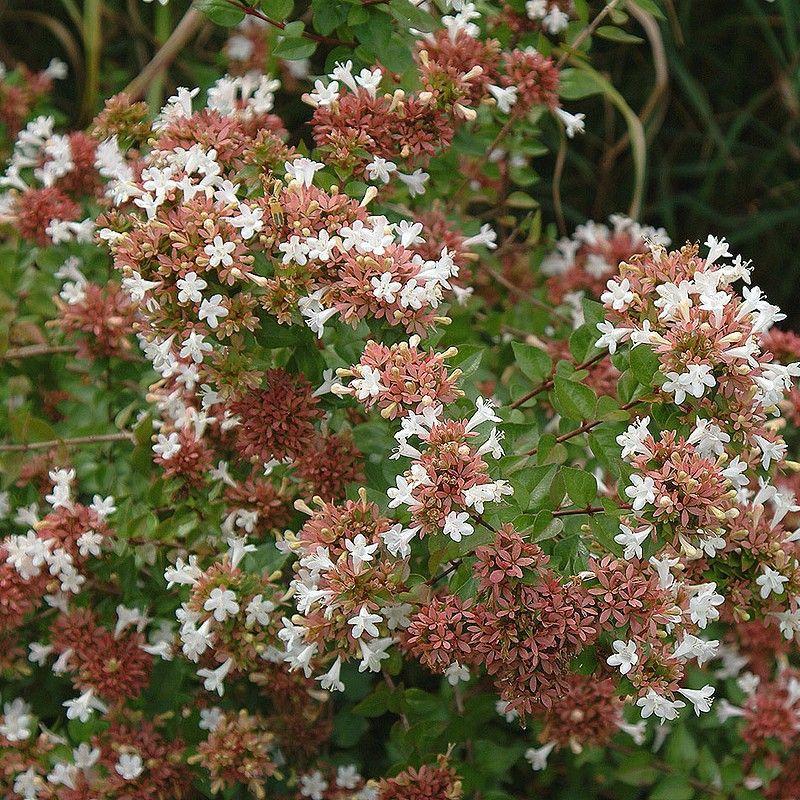 4. abelia grandiflora