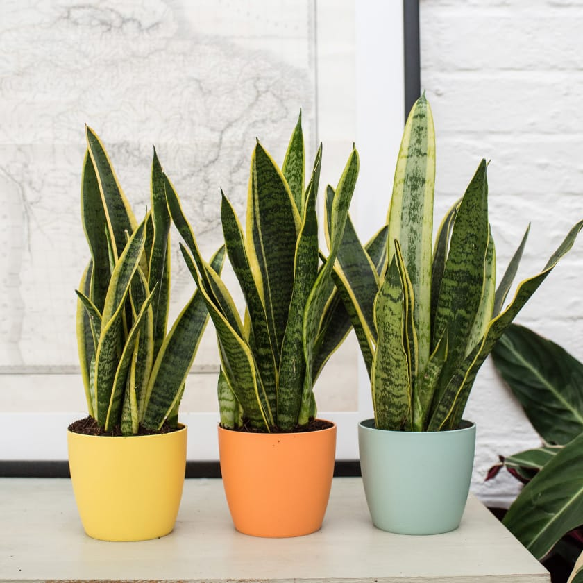 piante-resistenti-2. sansevieria-via sansdeco.com