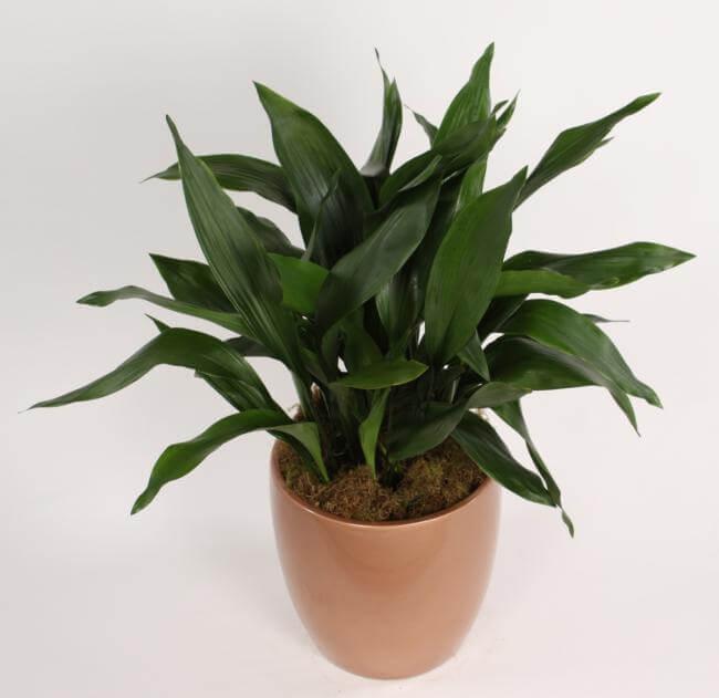 piante-resistenti-5. Aspidistra-via plantingman.com