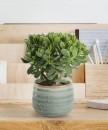 piante-resistenti-6.crassula