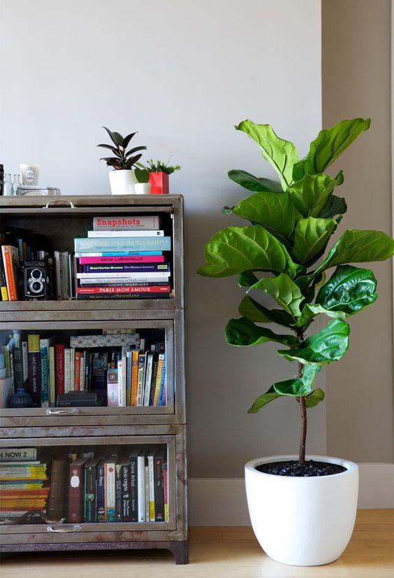 piante-resistenti-7.ficus lyrata via Leady Interiors