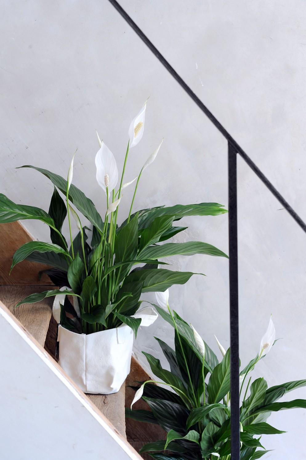 piante-resistenti-9.spatifillo