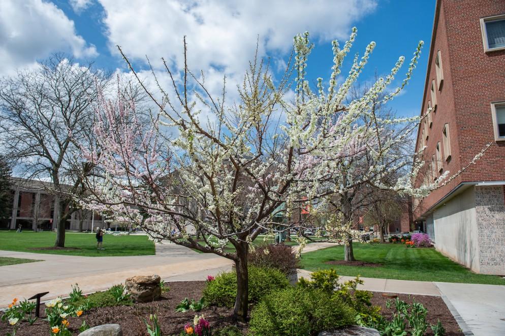 Sam Van Aken Tree of 40 Fruit In Bloom