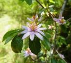 orticola-milano-2019-2. Vivaio Donne di Piante, Grewia occidentalis 2