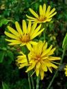 orticola-milano-2019-3. Vivaio Floricultura Geel, Scorzonera hispanica 1