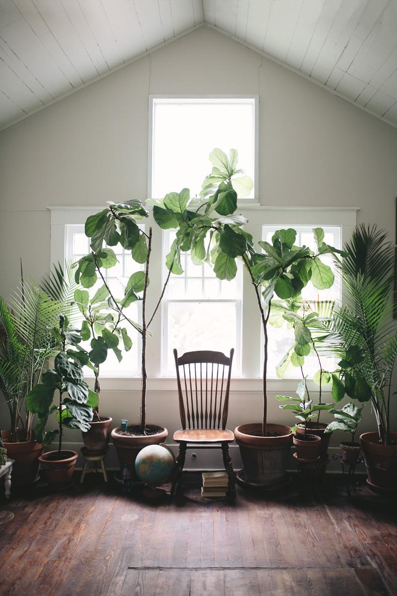 Piante Eleganti Da Appartamento piante da appartamento giganti: le più belle per arredare