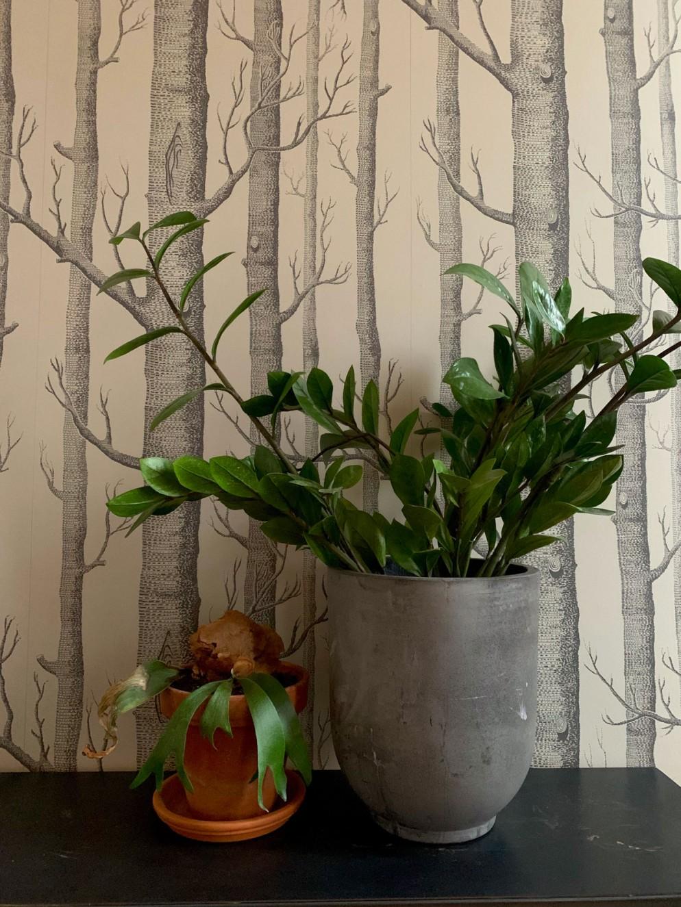piante-interno-poca-luce-zamioculcas-livingcorriere