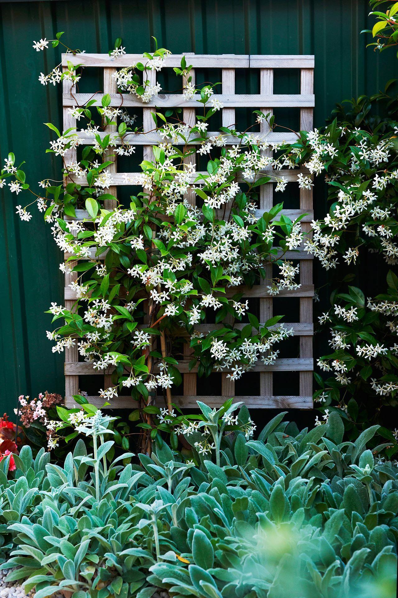 gelsomino-piante-rampicanti-da-esterno