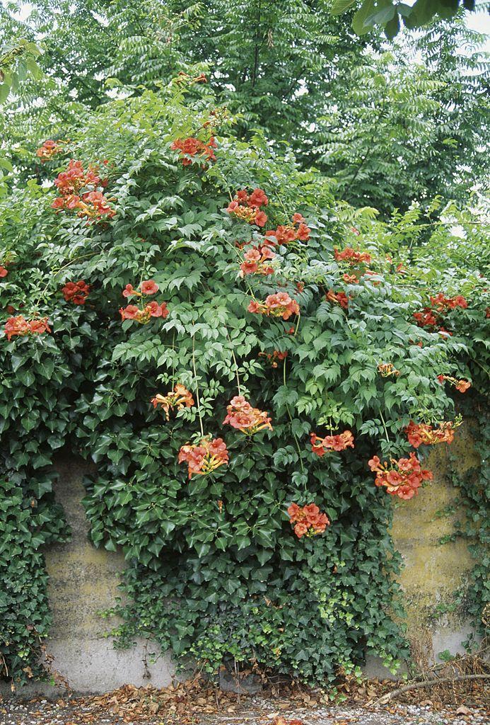 Bignonia, Bignoniaceae